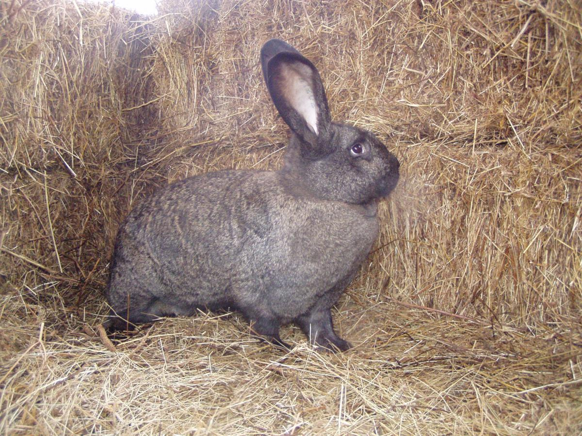 Hungarian Giant rabbit