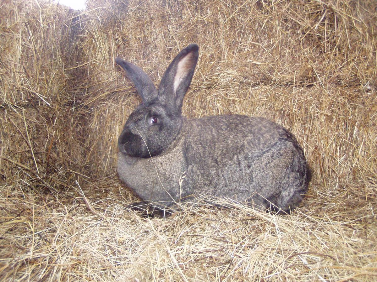 Hungarian giant rabbit2